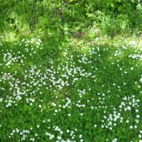 What's wrong with daisies in the lawn?